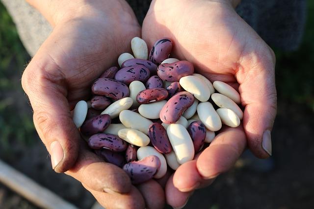fazole v rukou farmáře